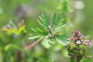 草の上に止まるキリギリスの幼虫の写真素材 [FYI04487225]