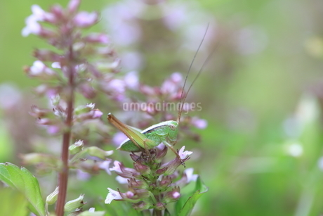 花に止まるキリギリスの幼虫の写真素材 [FYI04487226]