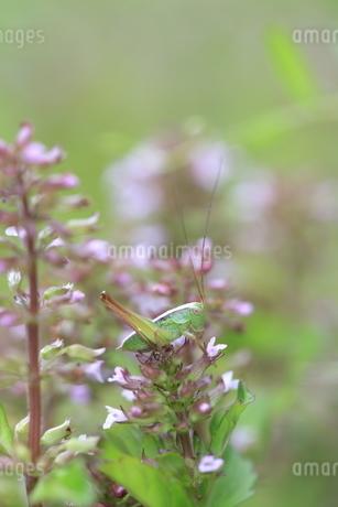 花に止まるキリギリスの幼虫の写真素材 [FYI04487227]