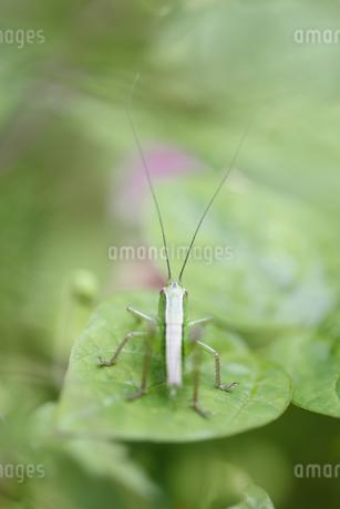 葉の上で休むキリギリスの幼虫の写真素材 [FYI04487230]