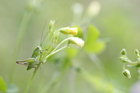 花に止まるキリギリスの幼虫の写真素材 [FYI04487231]