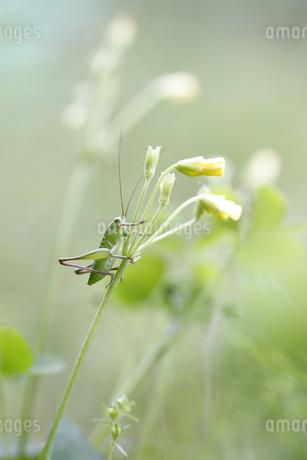 花に止まるキリギリスの幼虫の写真素材 [FYI04487232]