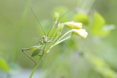 花に止まるキリギリスの幼虫の写真素材 [FYI04487233]