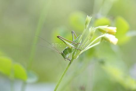 花に止まるキリギリスの幼虫の写真素材 [FYI04487234]