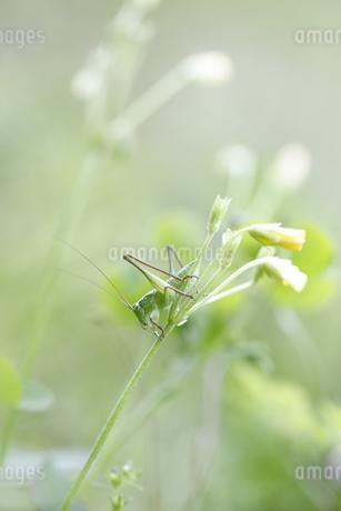 花に止まるキリギリスの幼虫の写真素材 [FYI04487235]