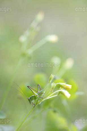花に止まるキリギリスの幼虫の写真素材 [FYI04487236]