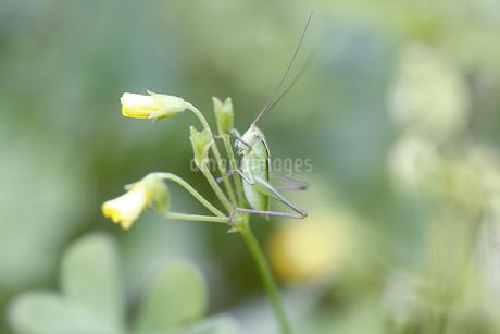 花に止まるキリギリスの幼虫の写真素材 [FYI04487237]
