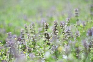 野辺に咲いたトウバナの写真素材 [FYI04487244]