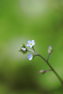 野辺に咲いたハナイバナの写真素材 [FYI04487245]