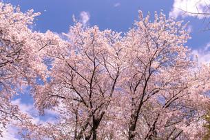 北海道 札幌市郊外の満開の桜の写真素材 [FYI04487263]