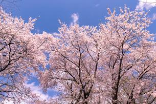 北海道 札幌市郊外の満開の桜の写真素材 [FYI04487264]