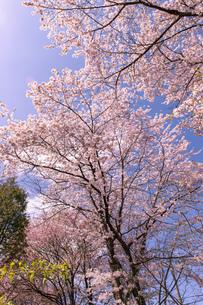 北海道 札幌市郊外の満開の桜の写真素材 [FYI04487265]