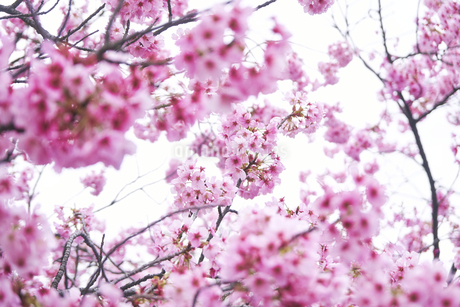 桜 春 東京 日本の写真素材 [FYI04487661]