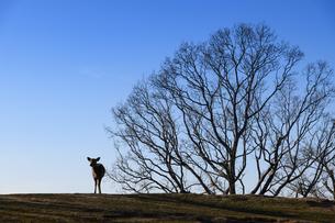 鹿と木の写真素材 [FYI04487712]