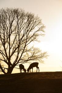 鹿と木の夕景の写真素材 [FYI04487725]