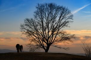 鹿と木の夕景の写真素材 [FYI04487733]