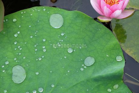 ハスの葉と雨粒の写真素材 [FYI04487760]