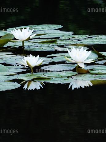 池に映るスイレンの写真素材 [FYI04487763]