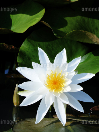 白蓮の花の写真素材 [FYI04487769]