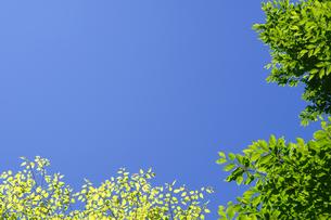 新緑が美しい春の木々と真っ青な空の写真素材 [FYI04487791]