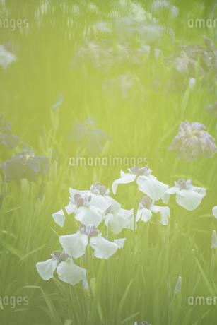花菖蒲の写真素材 [FYI04487896]