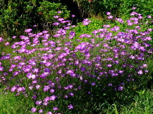柳が崎湖畔公園 花の写真素材 [FYI04487937]