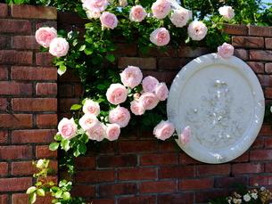 柳が崎湖畔公園 レンガの壁にバラの花の写真素材 [FYI04487939]