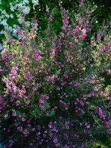 柳が崎湖畔公園 ローズ色の花と緑の草花の写真素材 [FYI04487942]