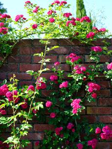 柳が崎湖畔公園 レンガの壁にローズ色のバラの写真素材 [FYI04487943]