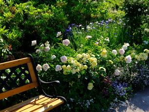 柳が崎湖畔公園 ベンチの横にバラの花の写真素材 [FYI04487945]