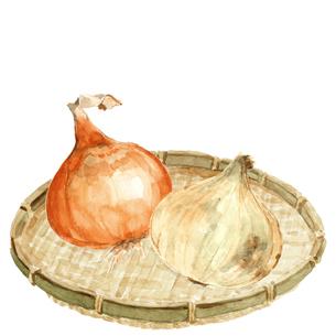 水彩 ザルにのせた玉ねぎ2種 新玉ねぎ 野菜 素材のイラスト素材 [FYI04488040]