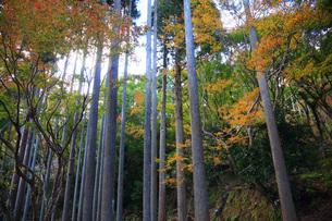 高雄北山杉と紅葉の写真素材 [FYI04488123]