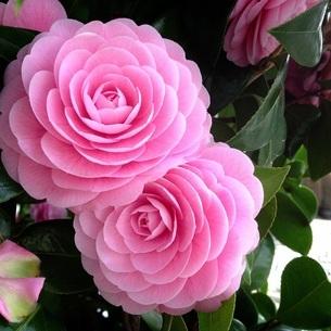 ピンクの花の写真素材 [FYI04488177]