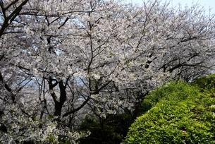 満開の桜と赤穂御崎散策路の写真素材 [FYI04488247]