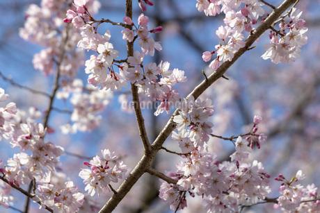 桜のアップの写真素材 [FYI04488330]