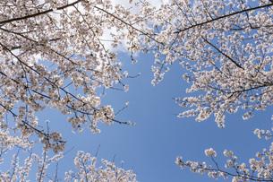 青空と桜の写真素材 [FYI04488339]