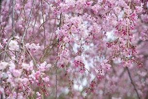 枝垂れ桜のアップの写真素材 [FYI04488344]