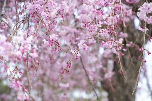 枝垂れ桜のアップの写真素材 [FYI04488345]