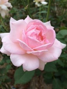 花の写真素材 [FYI04488533]