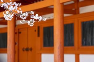 平安神宮 桜と朱塗りの写真素材 [FYI04488650]