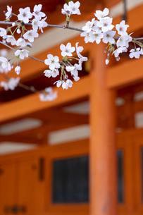 平安神宮 桜と朱塗りの写真素材 [FYI04488651]