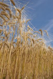 大麦畑の写真素材 [FYI04488677]