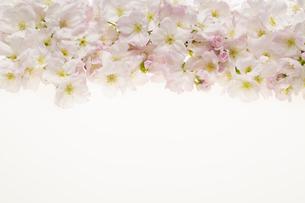 桜の集合の写真素材 [FYI04488707]