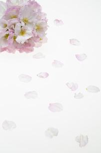 桜の集合の写真素材 [FYI04488709]