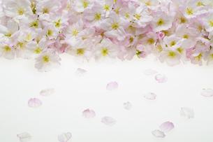 桜の集合の写真素材 [FYI04488710]
