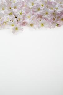 桜の集合の写真素材 [FYI04488711]