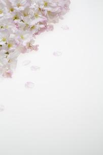 桜の集合の写真素材 [FYI04488712]