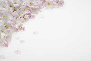 桜の集合の写真素材 [FYI04488713]