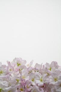 桜の集合の写真素材 [FYI04488715]