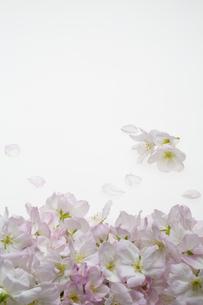 桜の集合の写真素材 [FYI04488716]